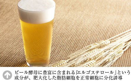 ビール酵母に豊富に含まれる「エルゴステロール」成分が肥大化した脂肪細胞を正常細胞に分化誘導